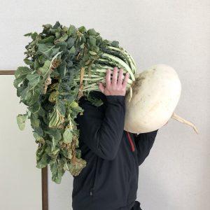 桜島大根の写真